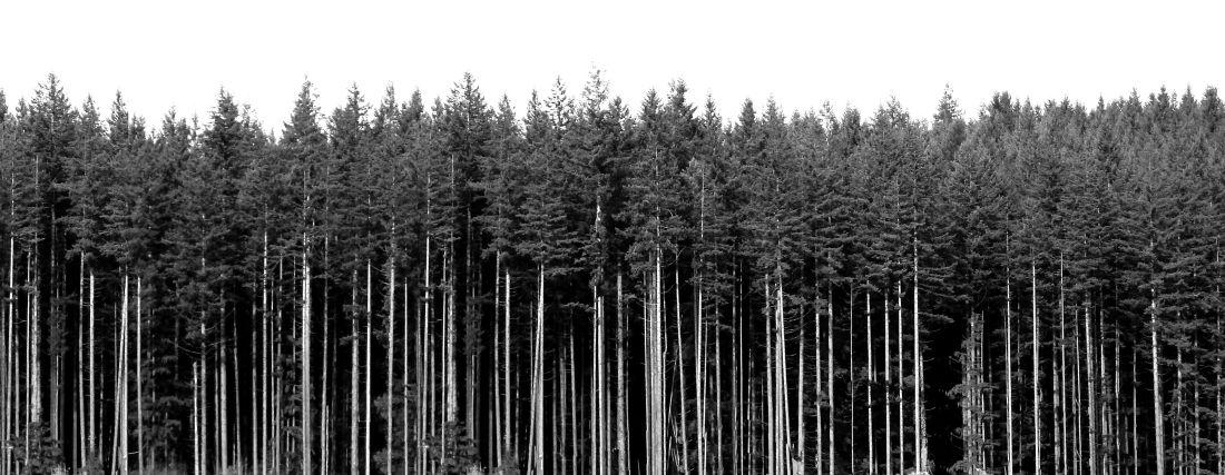 tall_pine_tree_background_20150321_1925470168